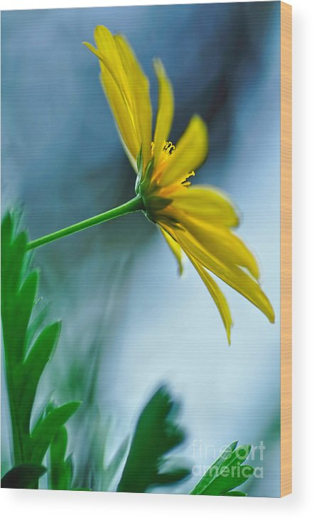 Photography Wood Print featuring the photograph Daisy In The Breeze by Kaye Menner