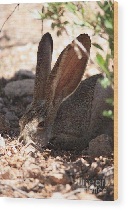 Desert Wood Print featuring the photograph Desert Jackrabbit by Carol Groenen