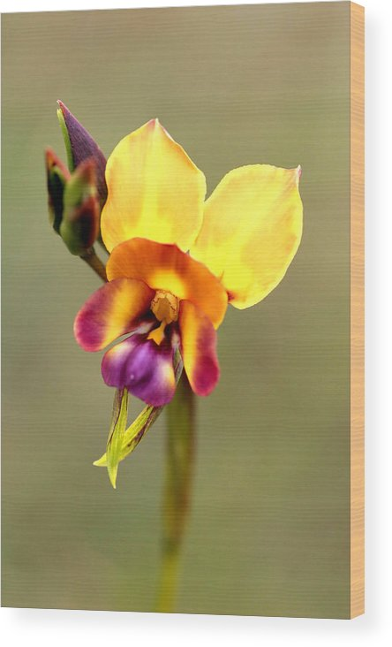 Flower Wood Print featuring the photograph Donkey Orchid by Tony Brown