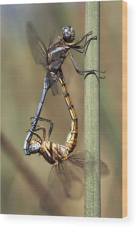 Common Thorntail Dragonfly Wood Print featuring the photograph Dragonflies Mating by Neil Overy