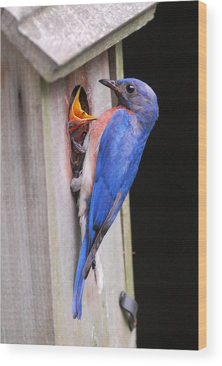 Songbird Wood Print featuring the photograph Eastern Bluebird And Chick by Alan Lenk