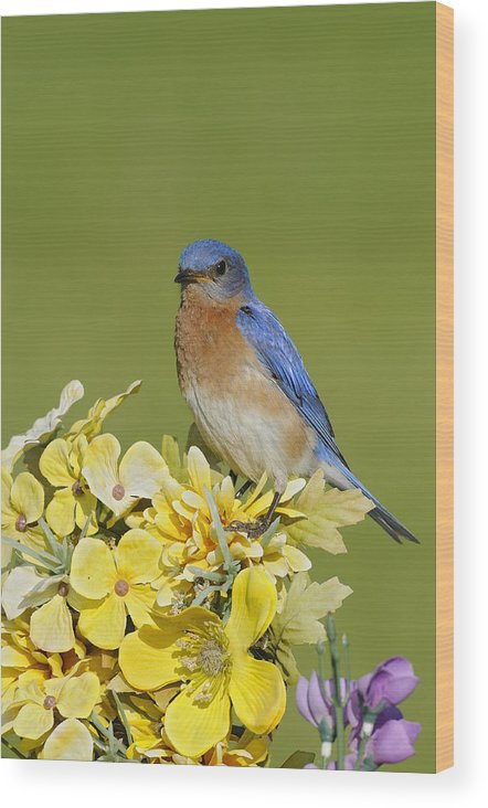 Bird Wood Print featuring the photograph Eastern Bluebird by Philippe Francis