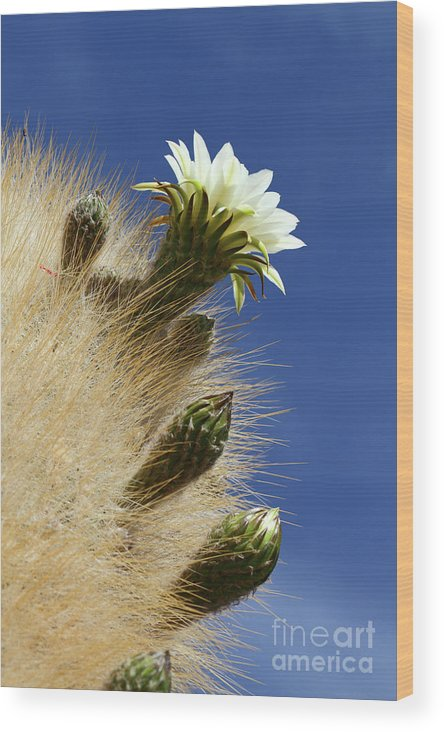 Flowering Cactus Wood Print featuring the photograph Echinopsis Atacamensis Cactus In Flower by James Brunker