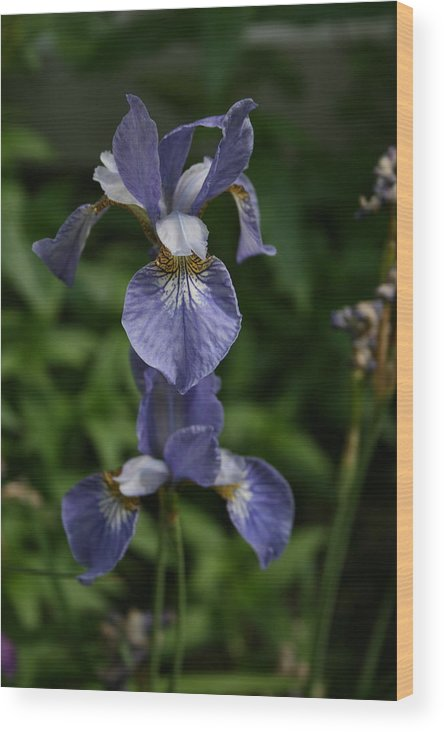Flowers Wood Print featuring the photograph Elevated Iris by Alan Rutherford