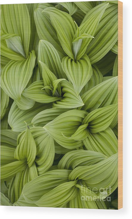 Leaf Wood Print featuring the photograph Emerging Leaves by Tim Grams