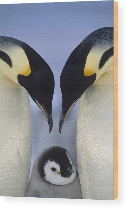 00140140 Wood Print featuring the photograph Emperor Penguin Family by Tui De Roy