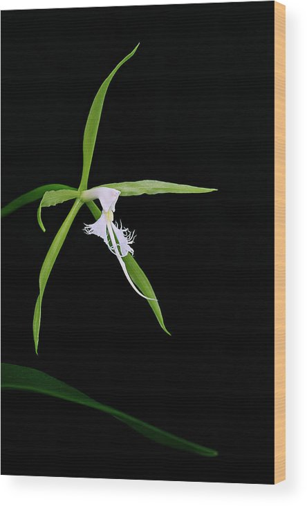 Orchid Wood Print featuring the photograph Endemic Orchid-st Lucia by Chester Williams