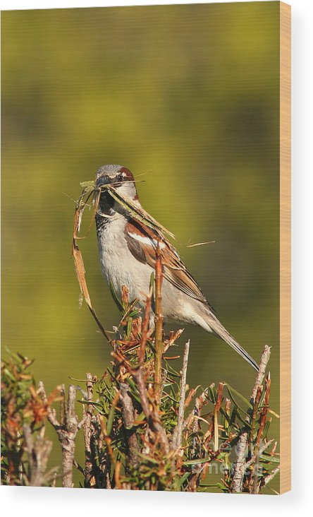 Sparrow Wood Print featuring the photograph English Sparrow Bringing Material To Build Nest by Max Allen