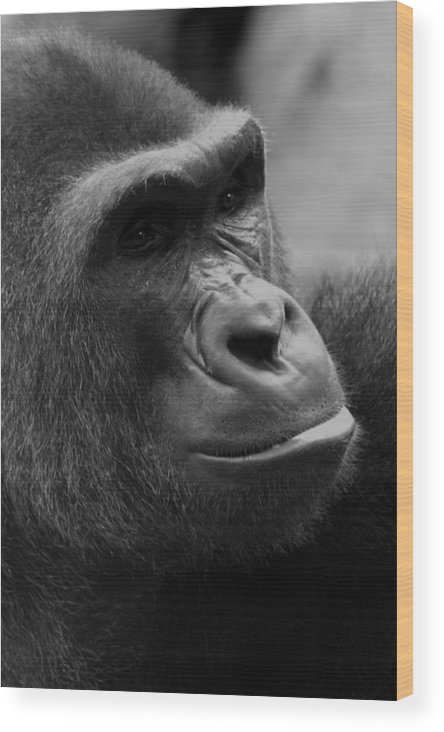 Africa Wood Print featuring the photograph Everyones Friend by Alan Look