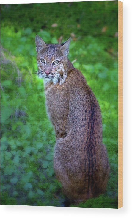 Bobcat Wood Print featuring the photograph Female Bobcat by Mark Andrew Thomas