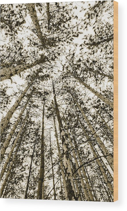 Pine Trees Wood Print featuring the photograph Fulfillment by Linda McRae