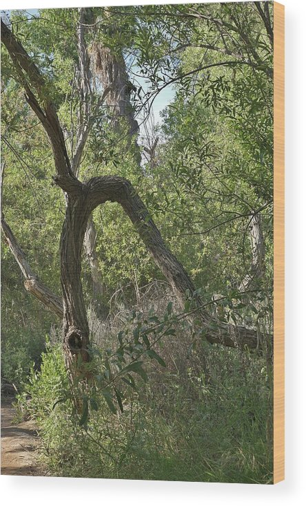 Linda Brody Wood Print featuring the photograph Funky Tree On Trail In Peters Canyon by Linda Brody