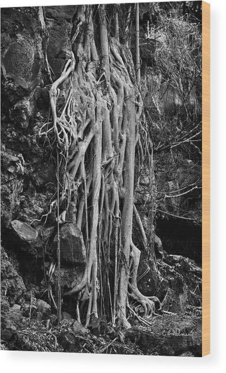Hawaii Wood Print featuring the photograph Ghostly Roots - Bw by Christopher Holmes