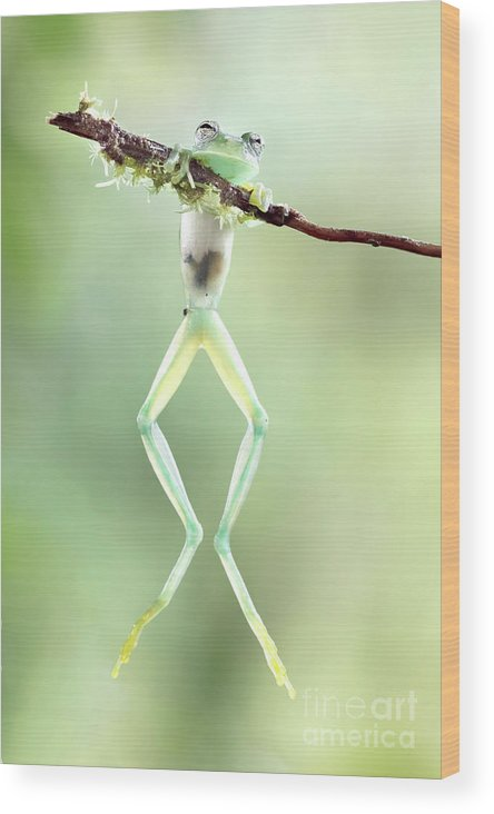 Green Wood Print featuring the photograph Glass Frog by Linda D Lester