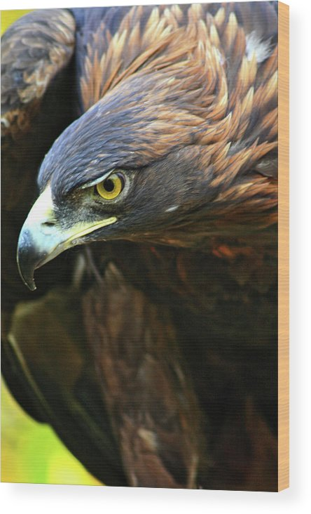 Golden Eagle Wood Print featuring the photograph Golden Eye by Scott Mahon