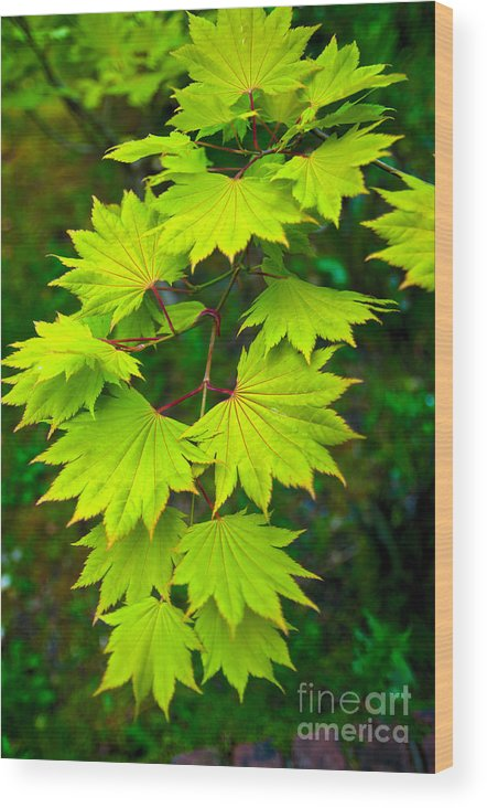 Wood Print featuring the photograph Green Maple by Chih-Hung Kao