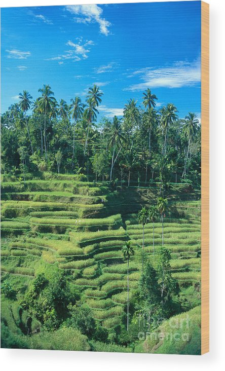 Agriculture Wood Print featuring the photograph Hillside In Indonesia by Gloria & Richard Maschmeyer - Printscapes