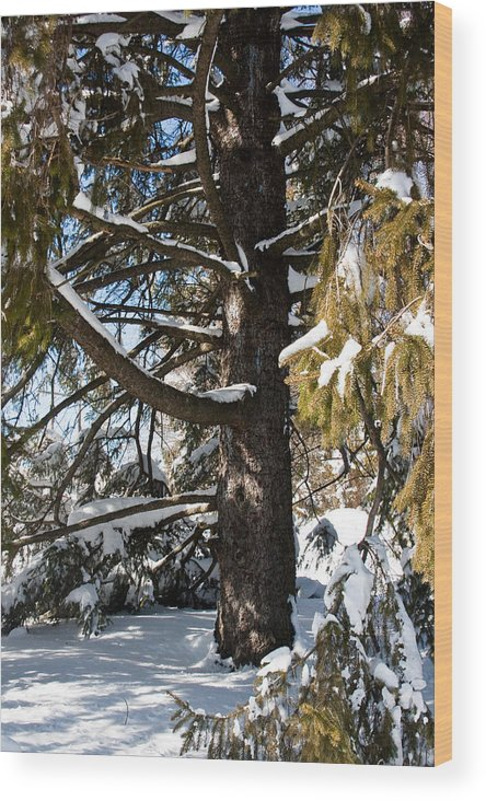 Nature Wood Print featuring the photograph Inside A Big Snowy Pine by Robin Lynne Schwind