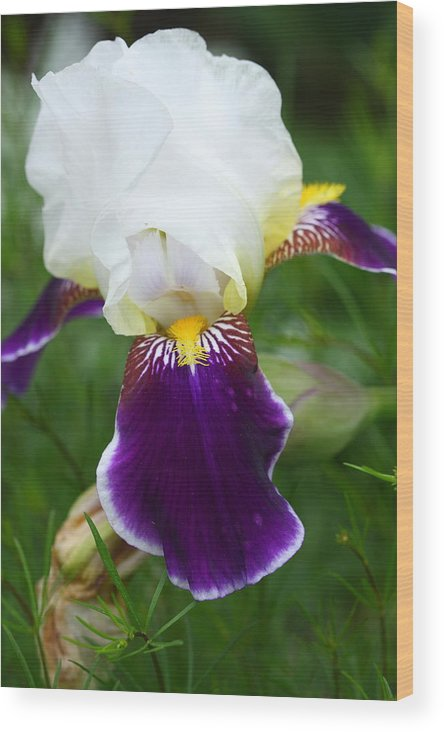 Flower Wood Print featuring the photograph Iris by Paul Slebodnick