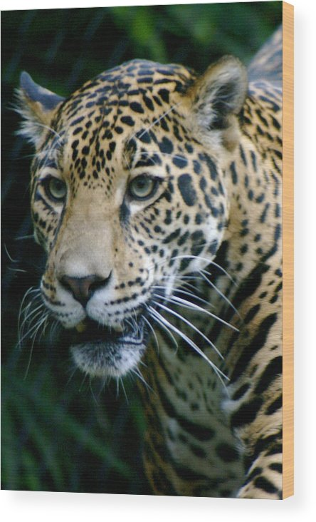 Zoo Wood Print featuring the photograph Jaguar by Sonja Anderson