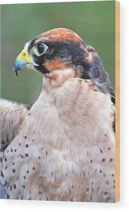 Lanner Falcon Wood Print featuring the photograph Lanner Falcon by Alan Lenk