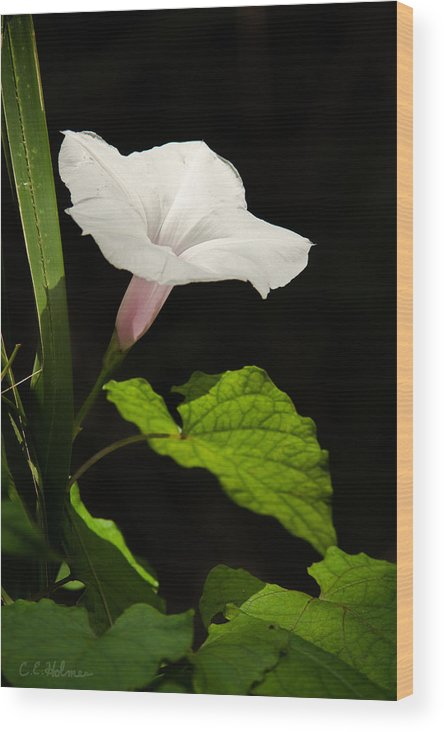 Flower Wood Print featuring the photograph Light Out Of The Dark by Christopher Holmes
