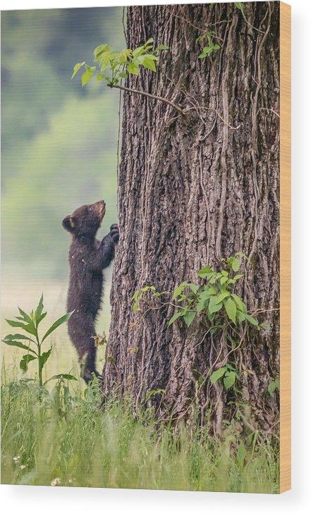 Blue Ridge Mountains Wood Print featuring the photograph Little Bear Big Tree by Sylvia J Zarco