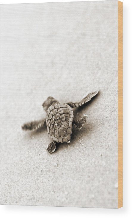 Loggerhead Turtle! Hilton Head Island Wood Print featuring the photograph Loggerhead by Michael Stothard