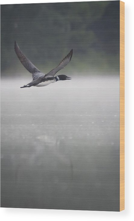Loon In Flight Wood Print featuring the photograph Loon 2 by Vance Bell
