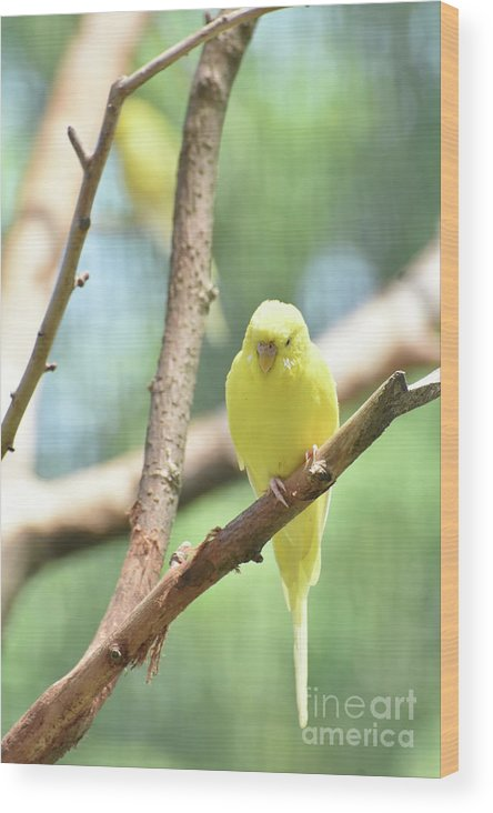 Budgie Wood Print featuring the photograph Lovable Little Budgie Parakeet Living In Nature by DejaVu Designs