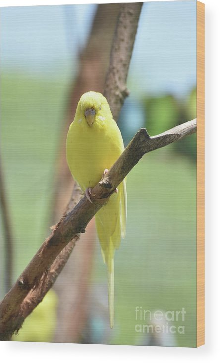Budgie Wood Print featuring the photograph Lovable Yellow Budgie Parakeet Bird Up Close by DejaVu Designs