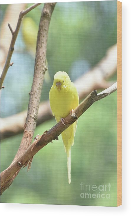 Budgie Wood Print featuring the photograph Lovely Yellow Budgie Parakeet In The Wild by DejaVu Designs