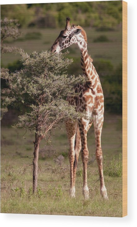 Giraffe Wood Print featuring the photograph Maasai Giraffe - Giraffe Maasai by Michel Legare