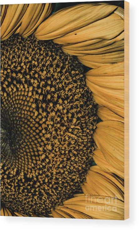 Sunflower Wood Print featuring the photograph Macro Sunflower by Cindy Gatzemeier