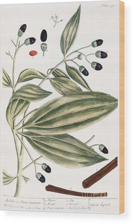 1730s Wood Print featuring the photograph Malabar Cinnamon, 1735 by Granger