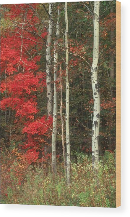 Fall Wood Print featuring the photograph Maple And The Birch by Raju Alagawadi