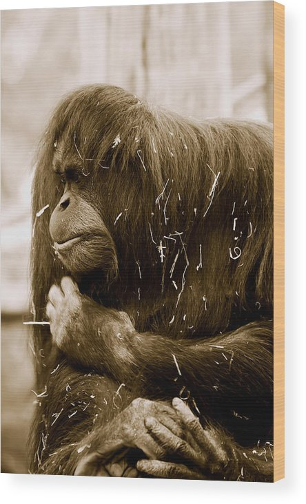 Orangutan Wood Print featuring the photograph Melancholy by Lesley Smitheringale