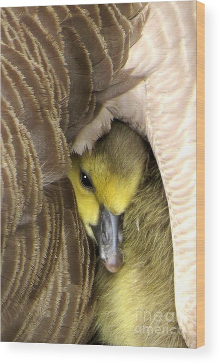 Geese Wood Print featuring the photograph Mommy's Warmth by Frank Townsley