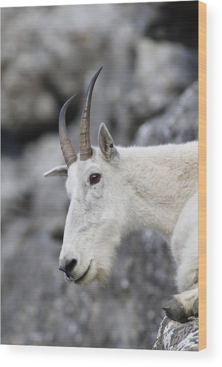 Mountain Goat Wood Print featuring the photograph Mountain Goat At Rest by Michael Bowland