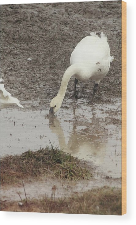 Tundra Swan Wood Print featuring the photograph Muddy Tundra Swan by Stacey Scott
