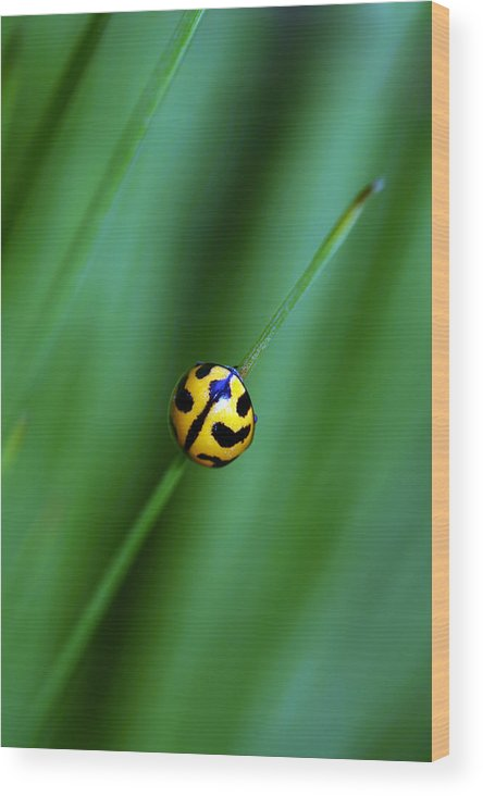 Lady Beetle Wood Print featuring the photograph Nature's Tightrope by Lesley Smitheringale