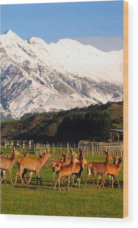 Landscape Wood Print featuring the photograph New Zealand Deer 3497 by PhotohogDesigns