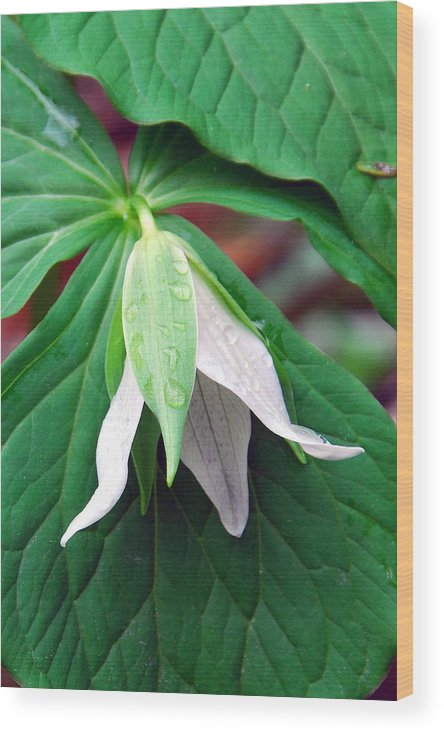 Trillium Wood Print featuring the photograph Nodding Trillium by Alan Lenk
