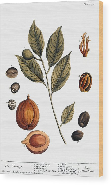 1730s Wood Print featuring the photograph Nutmeg, 1735 by Granger