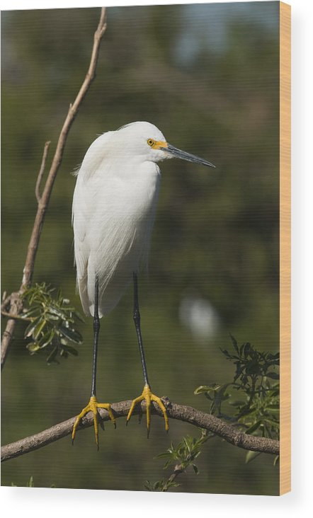 Snowy Egret Wood Print featuring the photograph On Balance by Chad Davis