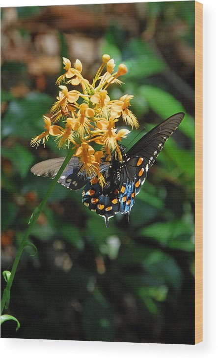 Ochid Wood Print featuring the photograph Orange Fringed Orchid by Alan Lenk