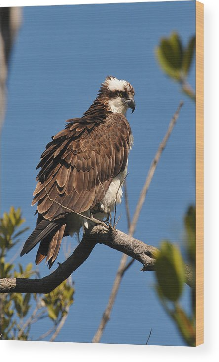 Osprey Wood Print featuring the photograph Osprey On Perch by Alan Lenk