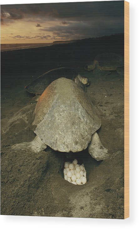 Animals Wood Print featuring the photograph Pacific Or Olive Ridley Turtle Laying by Steve Winter