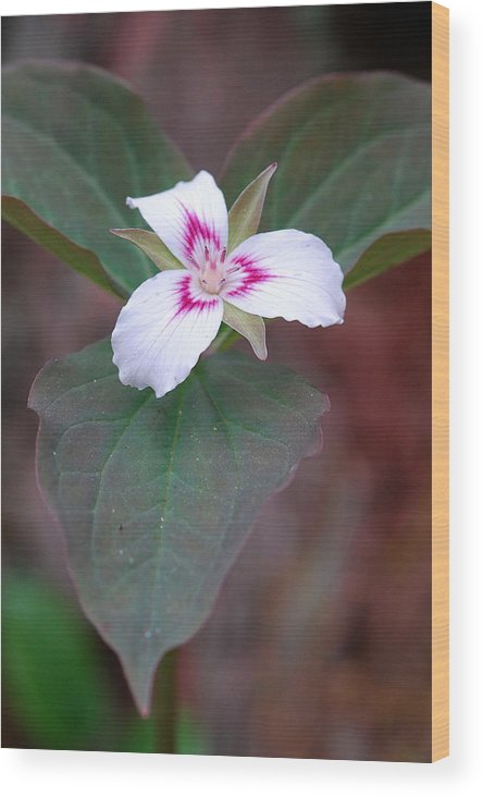 Painted Trillium Wood Print featuring the photograph Painted Trillium by Alan Lenk