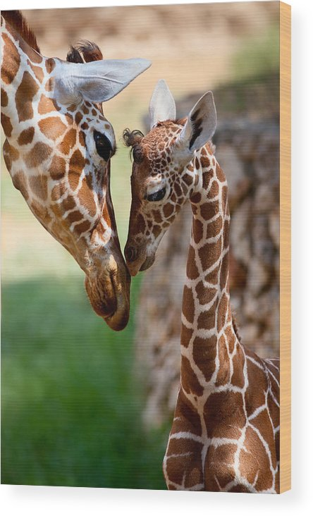 Giraffe Wood Print featuring the photograph Parent-child Relationship by Yuri Peress